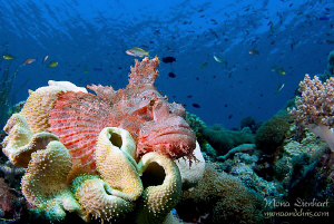 resting scorpionfish by Mona Dienhart 